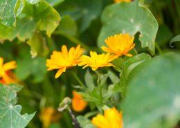 Traditionelle Pflanze Calendula officinalis