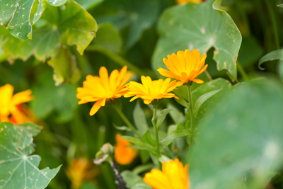 Traditionelle Pflanze Calendula officinalis