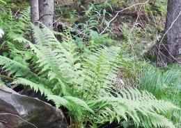 wild wachsender Farn im Wald