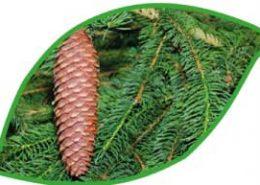 Eunike Grahofer berichtet über Fichtenbadenadelsalz, Fichtenrindenumschlag und alte Waldviertler Rezepte der Fichtenwipferl Wacholdereinreibung