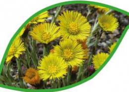 Huflattich wird bei Erkaeltungen, Magen-Darmbeschwerden und Hautunreinheiten eingesetzt