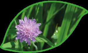Wiese Blume