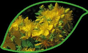 Foto Blüten Johanniskraut in Blattform