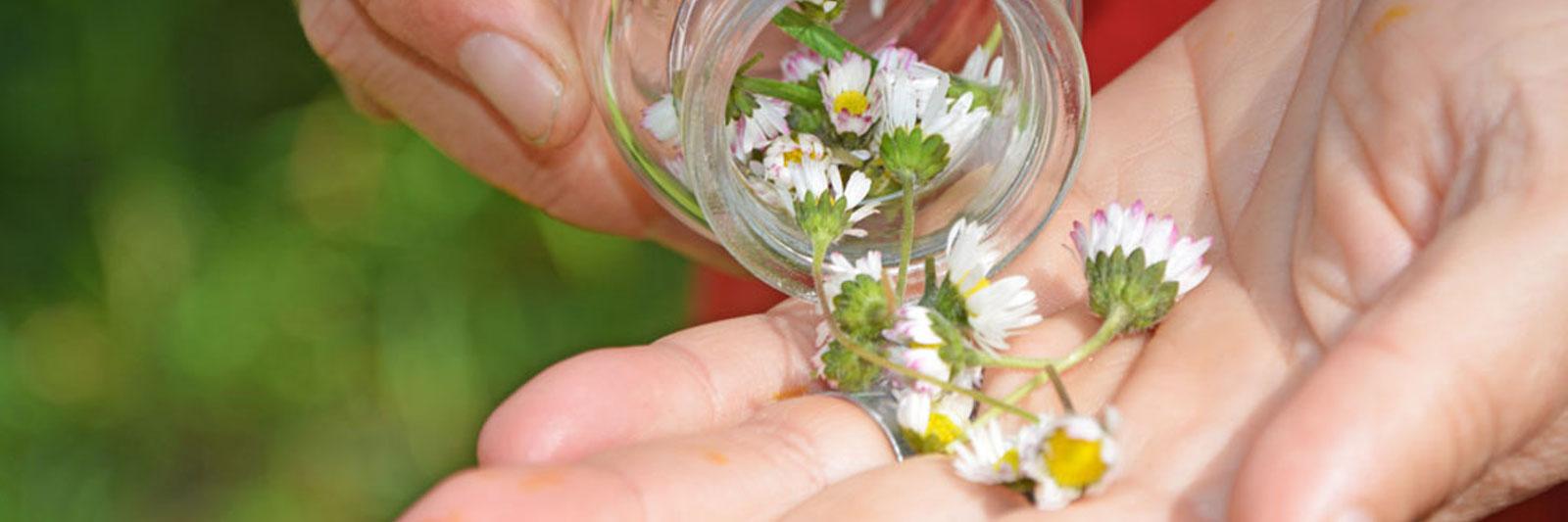 Gaensebluemchenblueten werden auf die Hand geleert