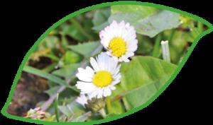 zwei Gaensebluemchen in Wiese