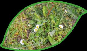 Wiese mit Gaensebluemchen
