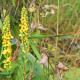 Koenigskerzen 3 bluehende Pflanzen in der Waldviertler Natur